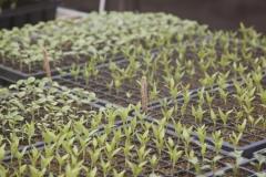 Petits plants de poivrons