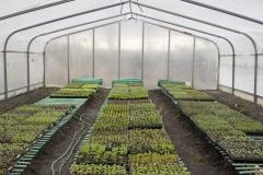 Les petits plants font un court séjour dans la serre de transition avant leur transplantation définitive en terre