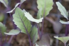 Jeunes plants de chou-rave