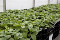 Jeunes plants de poivrons