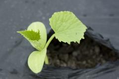 Petit plant de concombre fraîchement transplanté